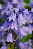 Bluebells w wiośnie Obrazy Royalty Free