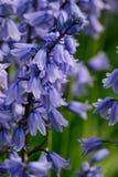 Bluebells w wiośnie Fotografia Stock