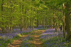 Bluebells walk Royalty Free Stock Photography