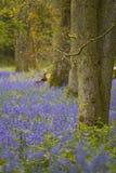 bluebells Wiltshire Στοκ Εικόνες