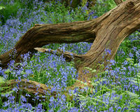 Bluebells and Wood Stock Photos