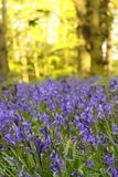 Bluebells in a wood Stock Image