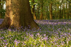 Bluebells in a wood Royalty Free Stock Photo