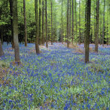 Bluebells in wood Stock Image