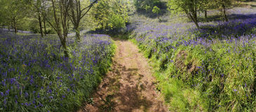 Bluebells in wood Royalty Free Stock Photos