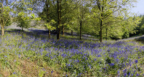 Bluebells in wood Royalty Free Stock Photo