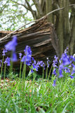 Bluebells in the Wood. A low angled image of Spring Bluebells in a wooded area with the stump of a fallen tree visible in the background Royalty Free Stock Image