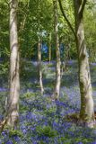 Bluebells in wood Stock Photography
