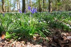 Bluebells with wood anemones Royalty Free Stock Photos