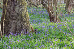 Bluebells in a wood. Stock Images