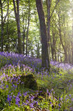 Bluebells in wood Stock Photos