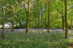 Bluebell wood Stock Image