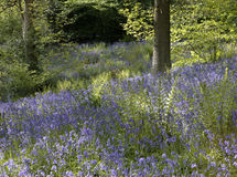 Bluebells in woodland Royalty Free Stock Image
