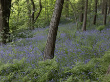 Bluebells in woodland Stock Photography