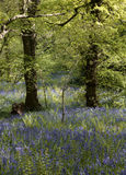 Bluebells in woodland Royalty Free Stock Photo