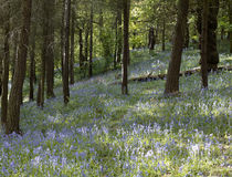 Bluebells in woodland Royalty Free Stock Photography