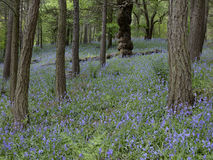 Bluebells in woodland Stock Images