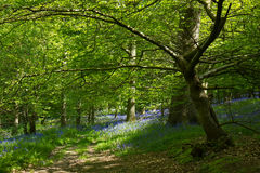 Bluebells in Woodland. Native English Bluebells in deciduous woodland Royalty Free Stock Photos