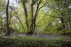 Bluebells in woodland Stock Photos