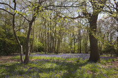 Bluebells in woodland, Suffolk, England Royalty Free Stock Image