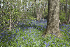 Bluebells in woodland, Suffolk, England Royalty Free Stock Photos