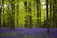 Bluebells woods Royalty Free Stock Photography