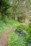 Bluebells in the woods Royalty Free Stock Photo