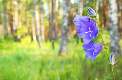 Bluebells in the woods Stock Photos