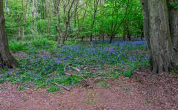 Bluebells in the woods with a clearing in the foreground. Royalty Free Stock Photo