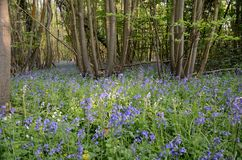 Bluebells in the Woods Royalty Free Stock Photos