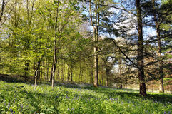Bluebells in the woods. Stock Photo