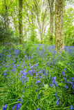 Bluebells woods at Godolphin in Cornwall England UK Stock Image