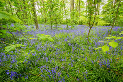 Bluebells woods at Godolphin in Cornwall England UK Royalty Free Stock Image