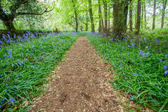 Bluebells woods at Godolphin in Cornwall England UK Stock Photography