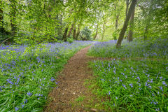 Bluebells woods at Godolphin in Cornwall England UK Royalty Free Stock Photo