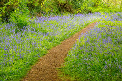 Bluebells woods at Godolphin in Cornwall England UK Royalty Free Stock Photography