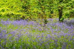 Bluebells woods at Godolphin in Cornwall England UK Royalty Free Stock Images