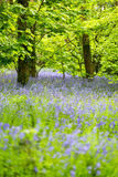 Bluebells woods at Godolphin in Cornwall England UK Stock Photo
