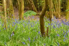 Bluebells in the Woods, Henfield Common stock photos