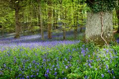 Bluebells in woods near Warminster, Wiltshire, Uk. Bluebell flowers in woods near Warminster, Wiltshire, Uk. The light snakes through the trees and flowers Stock Images