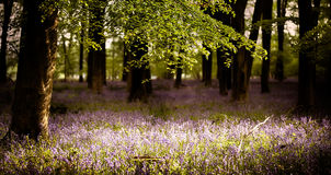 Bluebells in the woods with sunlight Royalty Free Stock Photography