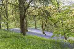 Bluebells in woods in Winkworth Arboretum. Bluebells in woods on a hillside in Winkworth Arboretum, Surrey, south-east England in springtime royalty free stock photos