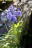 bluebells zamykają target650_0_ światło słoneczne fotografia royalty free