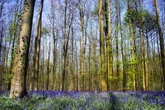 Bluebellwald Stockbild