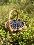 Blueberri Immagine Stock Libera da Diritti