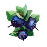 Blueberri Fotografie Stock