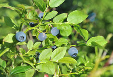 Blueberrie Royalty Free Stock Photos