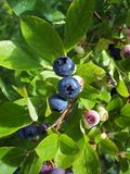 Blueberries 1 Stock Photos