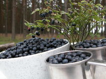 Blueberries. In the forest Stock Image