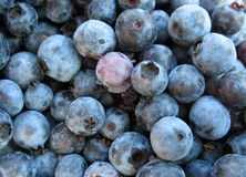 Blueberries. Wild blueberries, freshly picked, with a light covering of sand Royalty Free Stock Photo